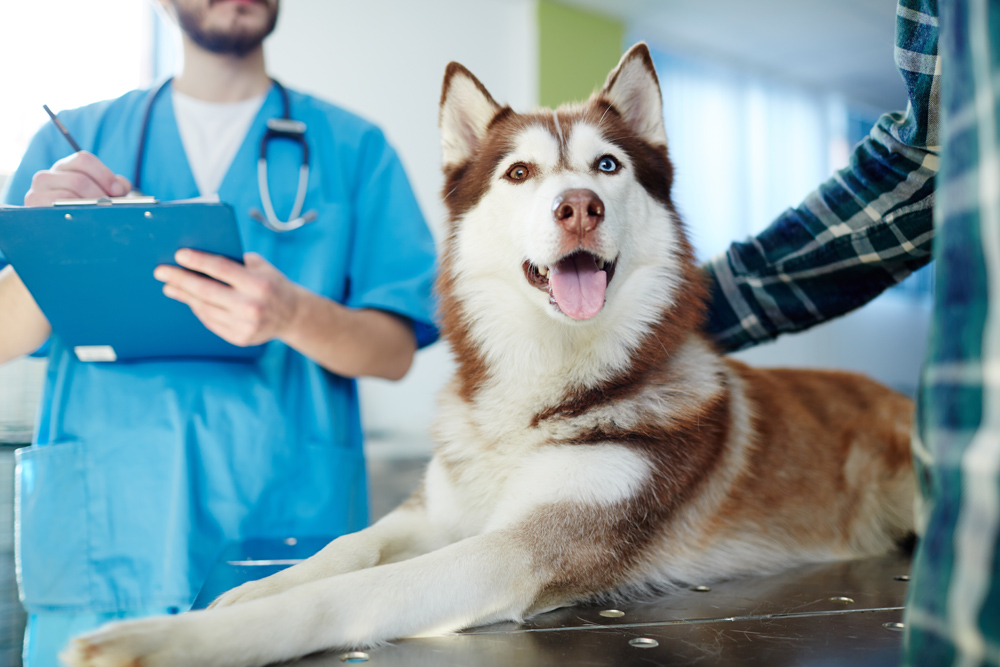 Husky dog getting a pet wellness exam.