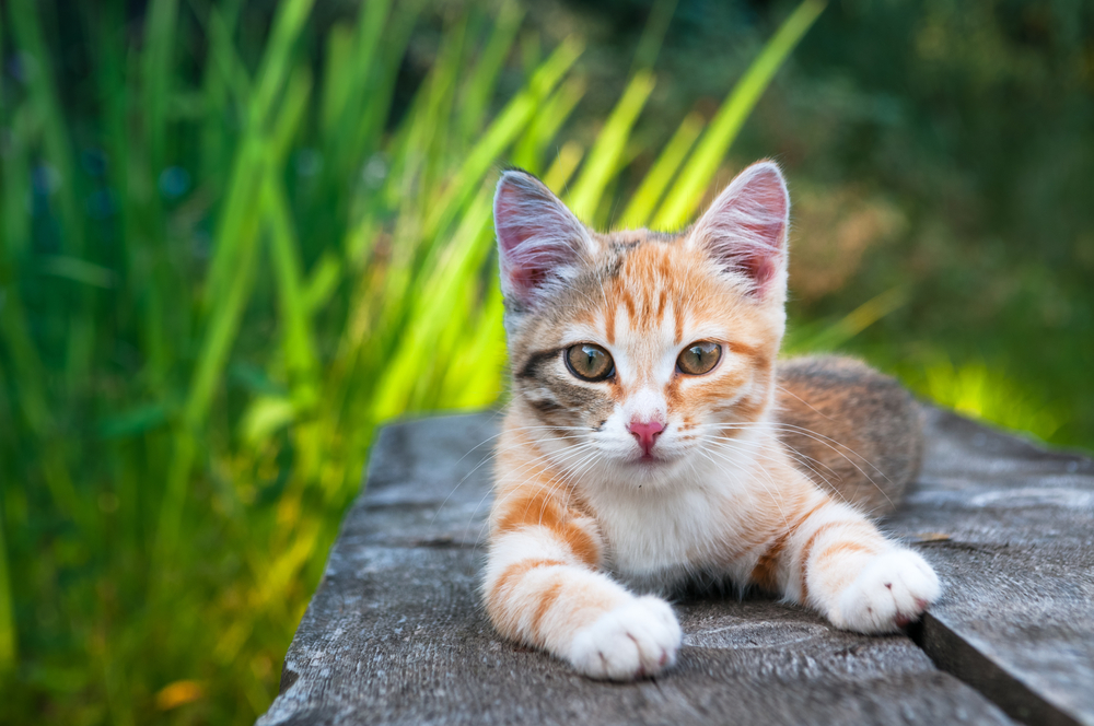 Kidney Failure In Cats Veterinarian In Durham Nc New Hope Animal Hospital
